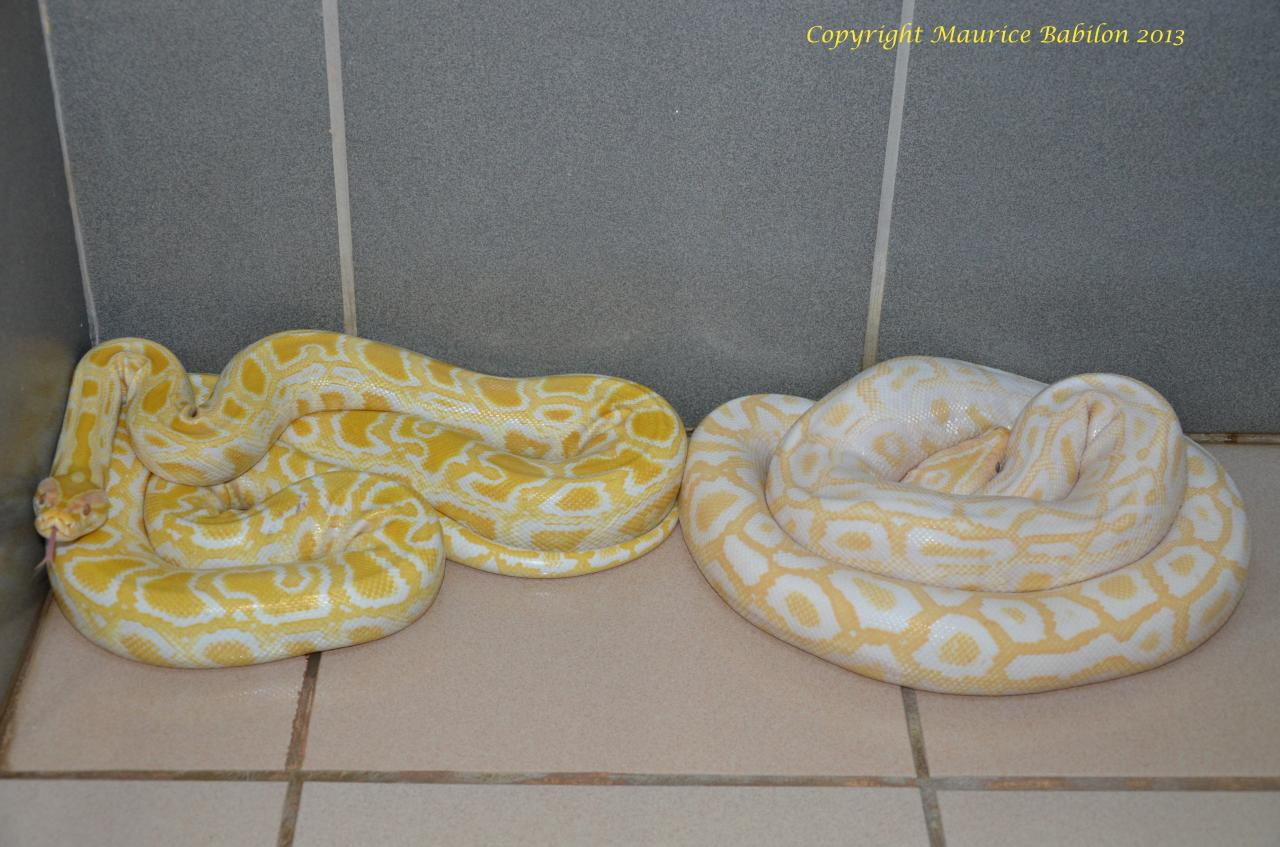 002 Python molurus bivittatus albinos