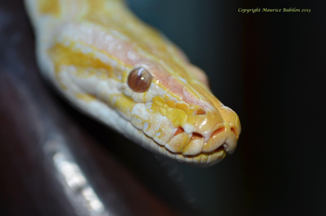 002 Python molurus bivittatus albinos - mâle