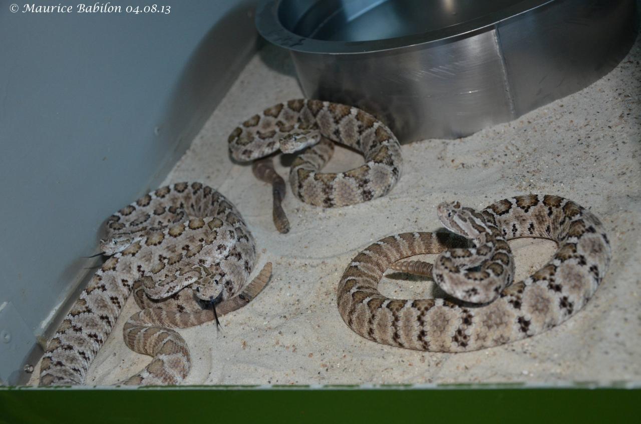 Crotalus Enyo ou Crotale de Californie
