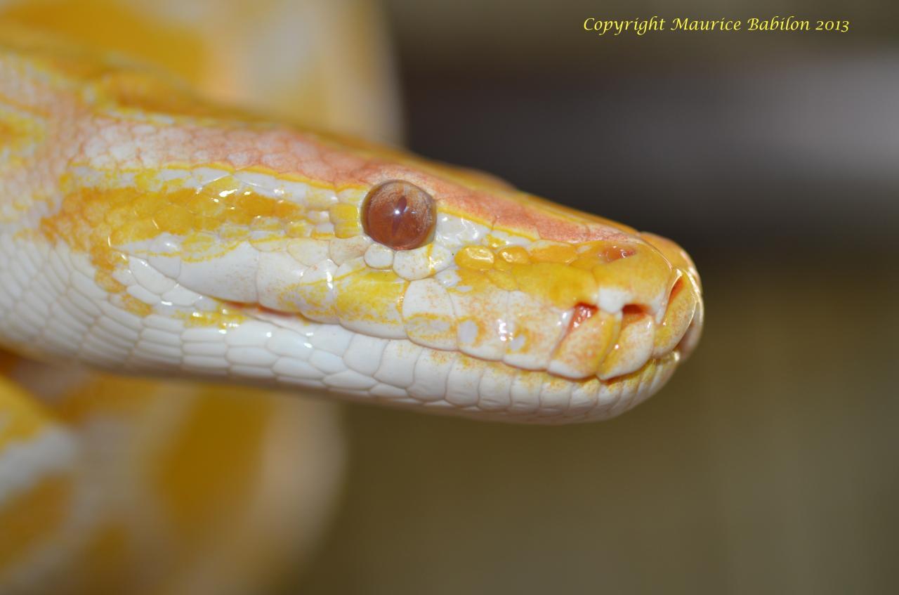 011 Python molurus bivittatus