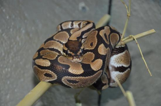 Python régius