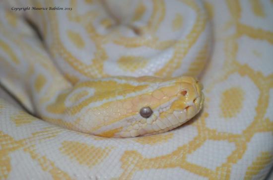 012 Python molurus bivittatus albinos - femelle