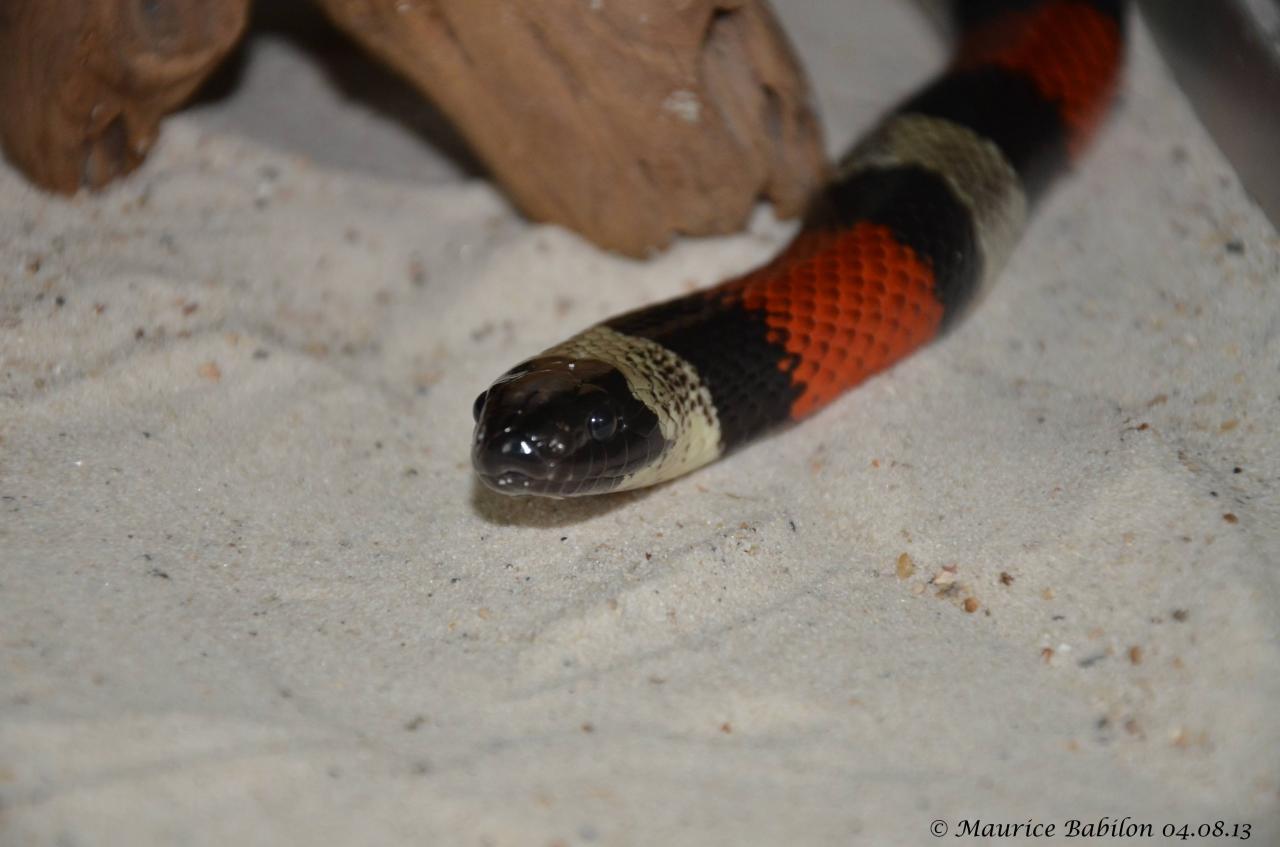 Couleuvre originaire du Mexique , Serpent faux corail