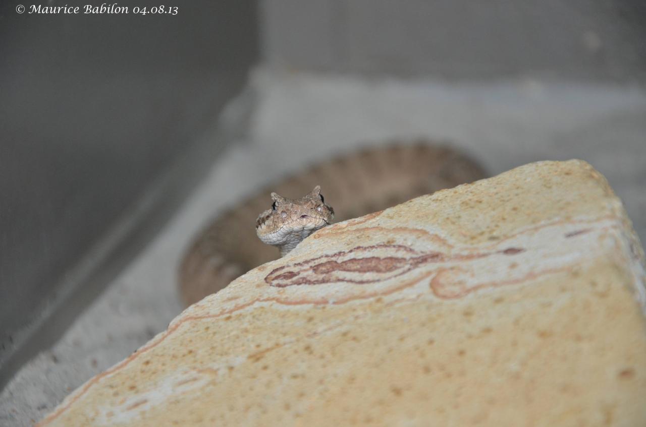 Crotalus cerastes laterorepens ou Crotale du désert du Colorado