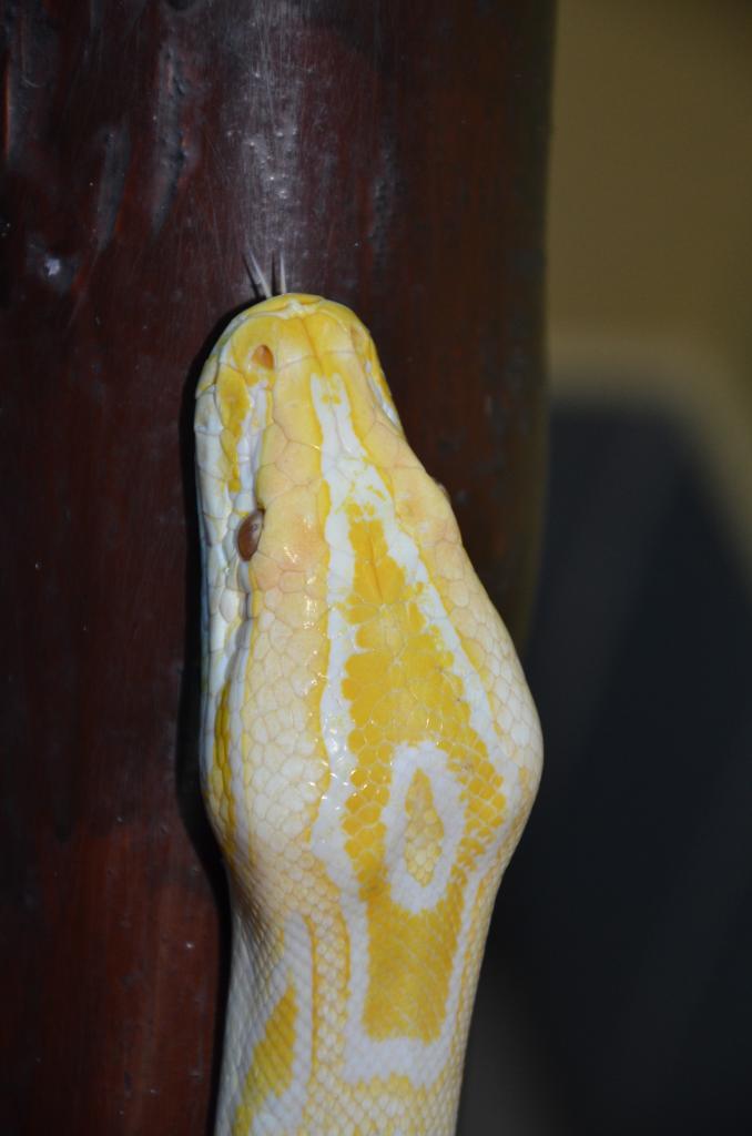 Python Molurus Bivittatus albinos ( forme naturelle non cloné )