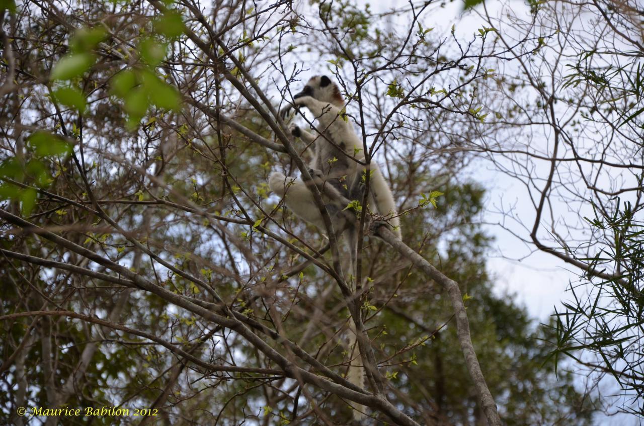 Nord de Madagascar , parc de Zombitse Vohibasia