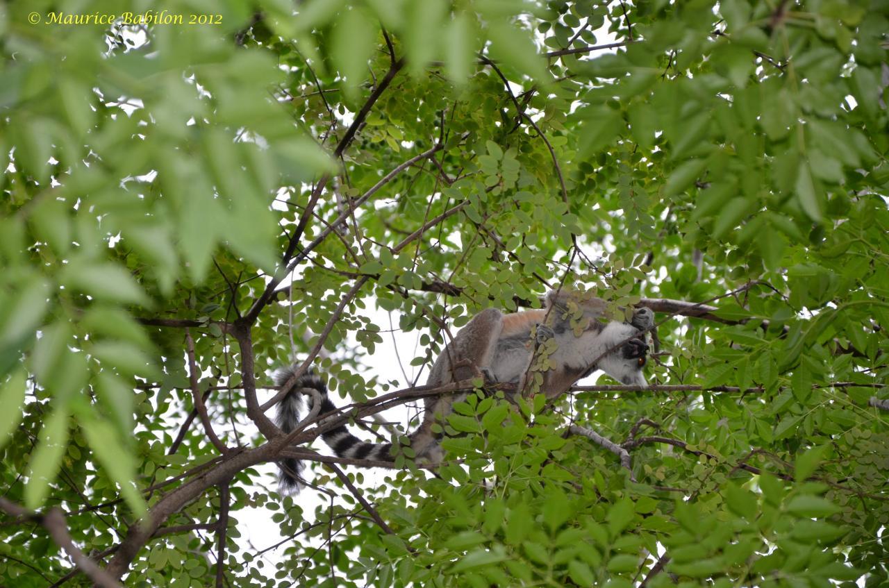Nord de Madagascar , parc d' Anja