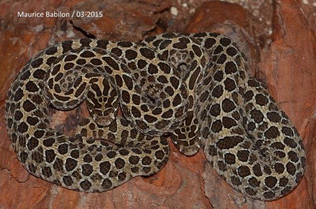 Crotalus polyctictus femelles