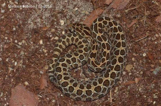 Crotalus polyctictus mâle