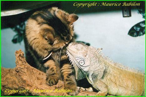Chat c'est un Iguane