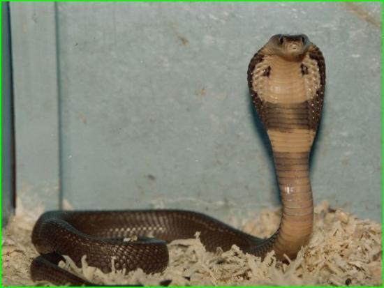 Naja Naja Kaouthia - Cobra des Indes