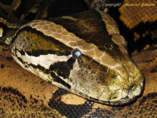 Tête de Python Molurus Bivittatus