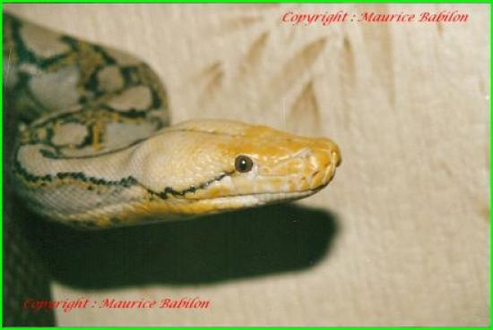 Tête de Python réticulé