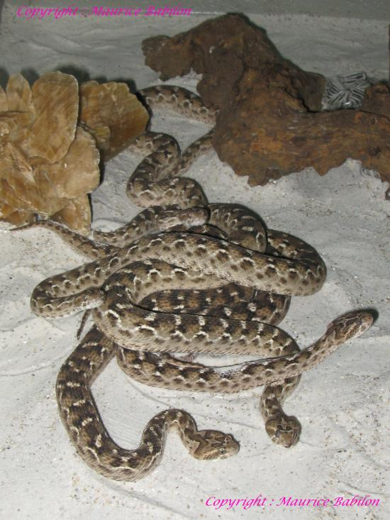 Echis Carinatus Sochurecki