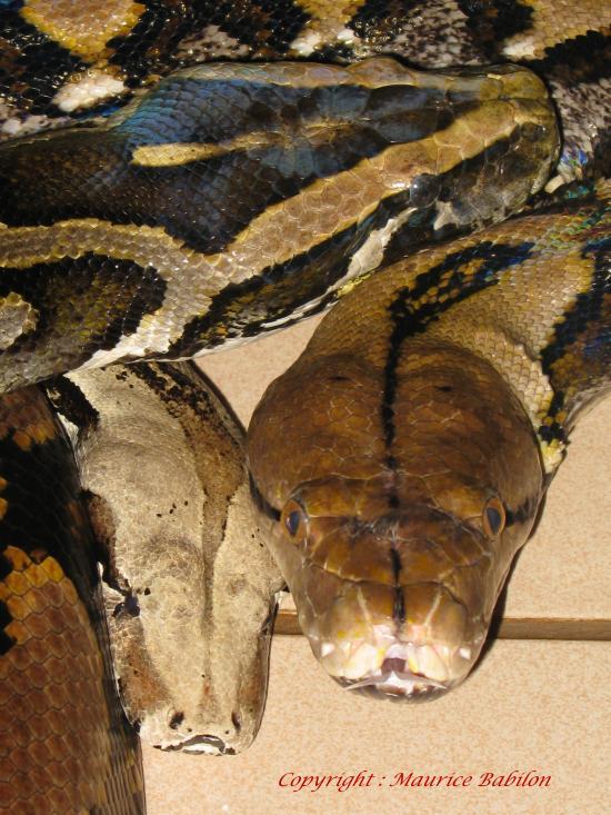 La trilogie Constrictor-Molurus-Reticulatus