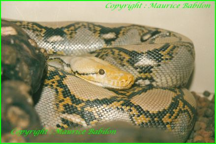 Python Réticulatus