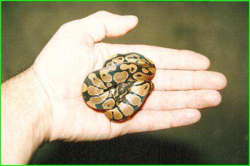 Naissances de Python Régius