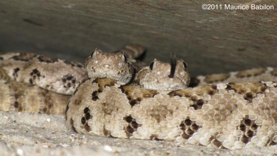 Famille des serpents a sonnettes