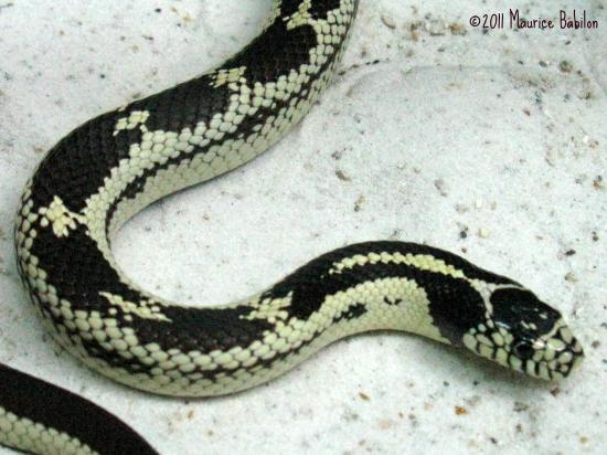 Serpent Roi de Californie