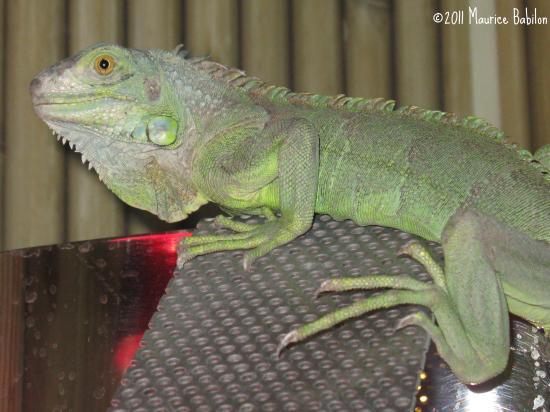 Les reptiles à pattes