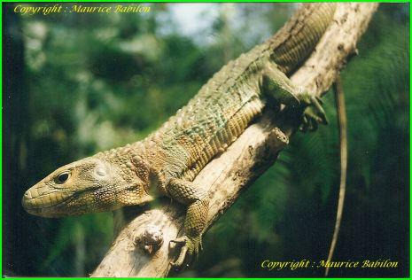 Lezard Caïmans de Guyane