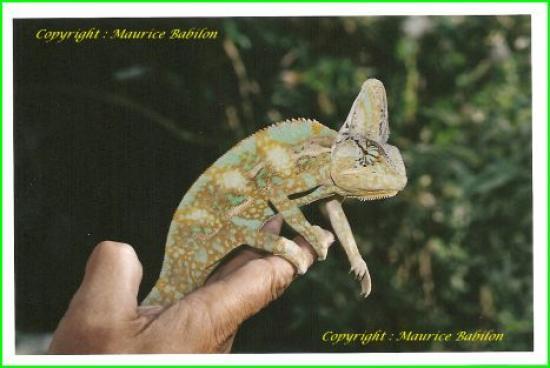 Caméléon mâle adulte