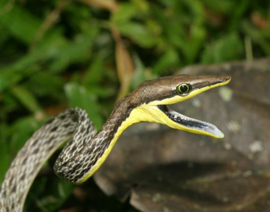 Oxybelis aeneus , serpent Liane
