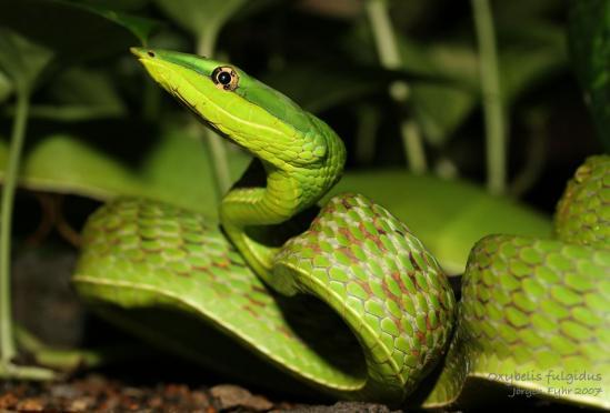 Oxybelis fulgidus green vine snake melgar 03 web 3